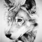 عکس سیاه و سفید گرگ وحشی
