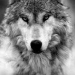 عکس نقاشی گرگ وحشی سیاه قلم