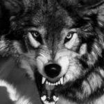 عکس نقاشی گرگ وحشی با سیاه قلم
