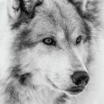 نقاشی گرگ وحشی سیاه قلم