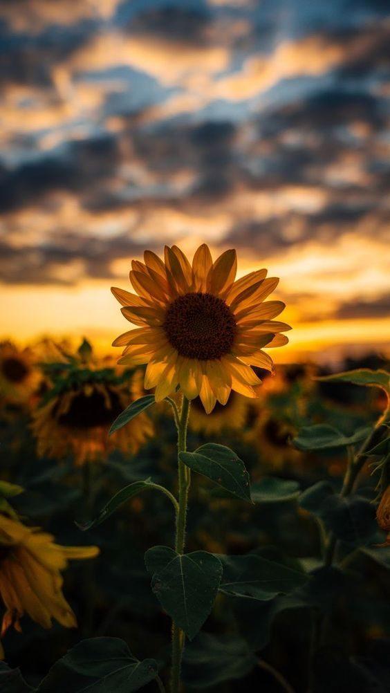 تصویر زمینه گل آفتابگردان