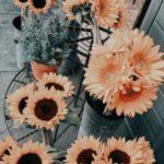 عکس پس زمینه گل آفتابگردان