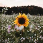 پس زمینه گل آفتابگردان - بک گراند موبایل با گل آفتابگردان
