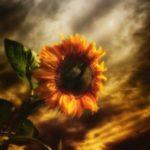 عکس زمینه گل آفتابگردان برای گوشی