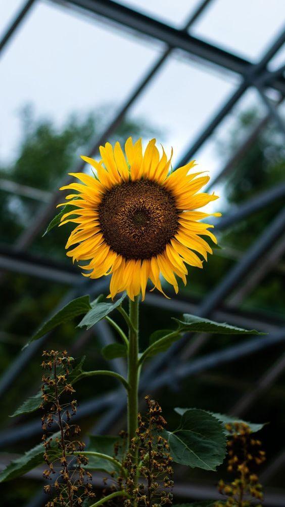 دانلود بک گراند گل آفتابگردان