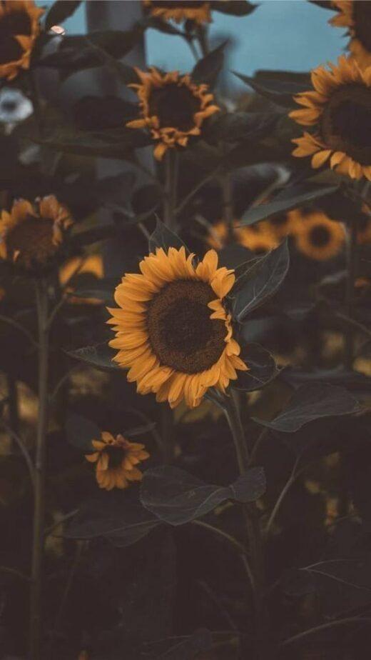 پس زمینه گل های آفتابگردان