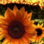 بک گراند گل آفتابگردان برای گوشی