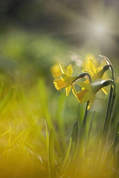 عکس گل نرگس با کیفیت بالا