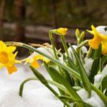 عکس گل نرگس در زمستان