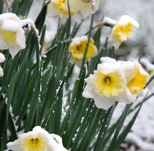 عکس گل نرگس برفی