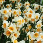 عکس باغ گل نرگس