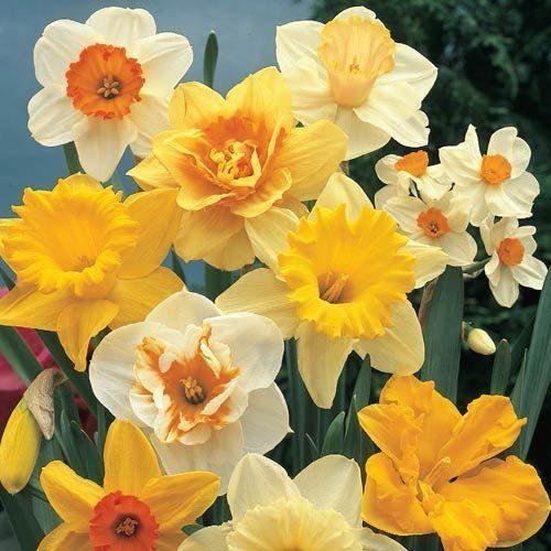 عکس گل های نرگس
