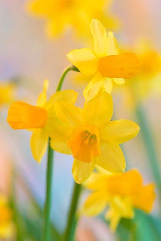 دانلود عکس گل نرگس برای پروفایل