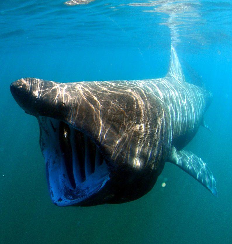 کوسه آسوده (Basking shark)