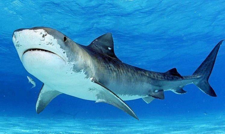 کوسه ببری (Tiger Shark)