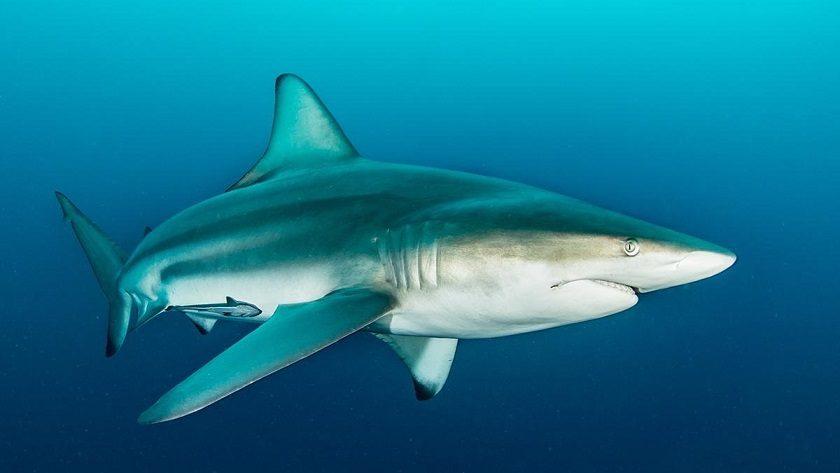 کوسه باله سیاه (Blacktip Shark)
