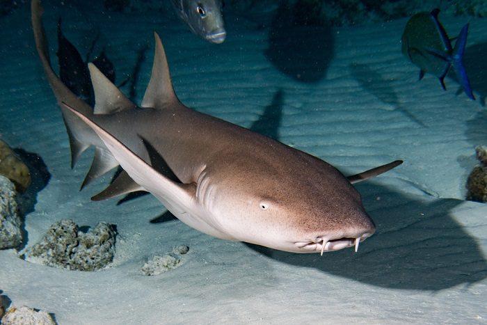 nurse-shark