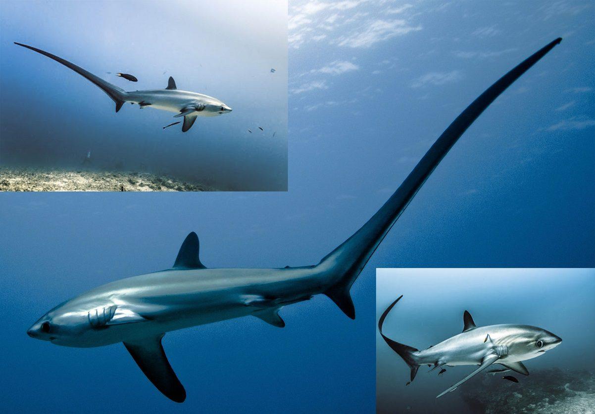 کوسه دم دراز (Thresher Shark)