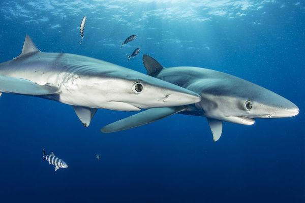 couple-blue-shark