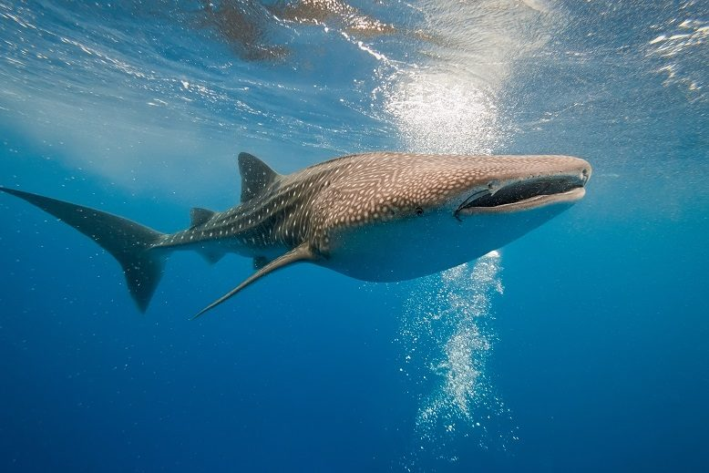 کوسهنهنگ (Whale Shark)