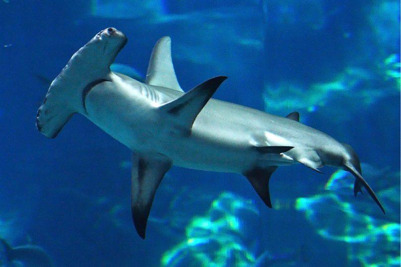 کوسه سرچکشی (Hammerhead shark)