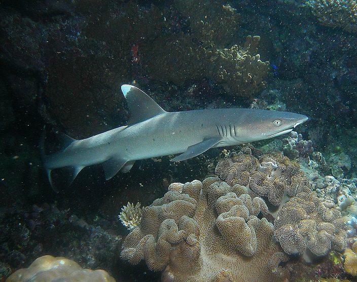 کوسه باله سفید کوچک مرجانی (White Tip Reef Shark)