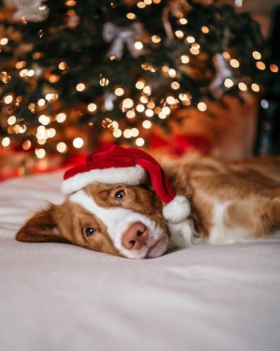 عکس بک گراند کریسمس و سگ