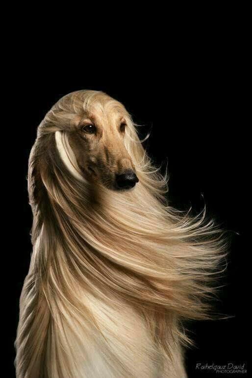 والپیپر سگ مو بلند فانتزی