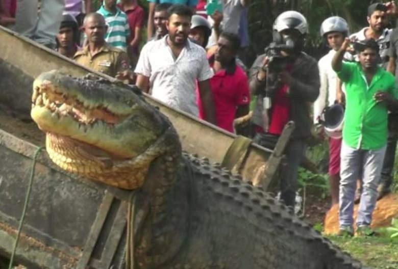 تمساح ماتارا یکی از غول پیکرترین کروکودیل های دنیا
