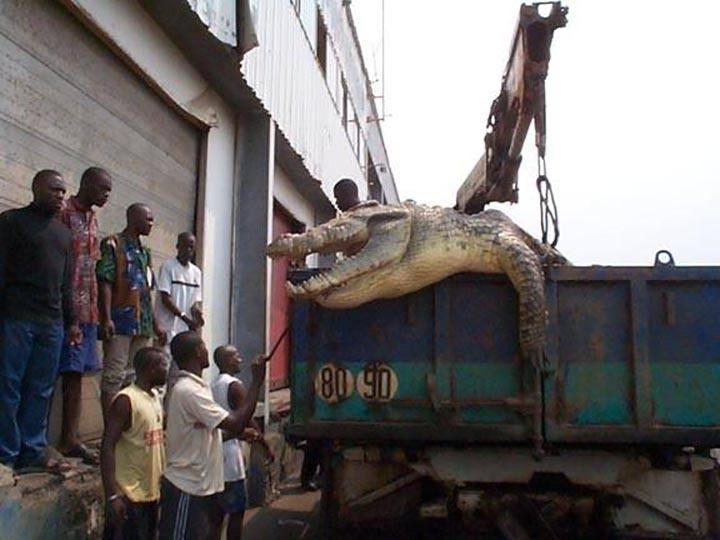 تمساح Puento Noire