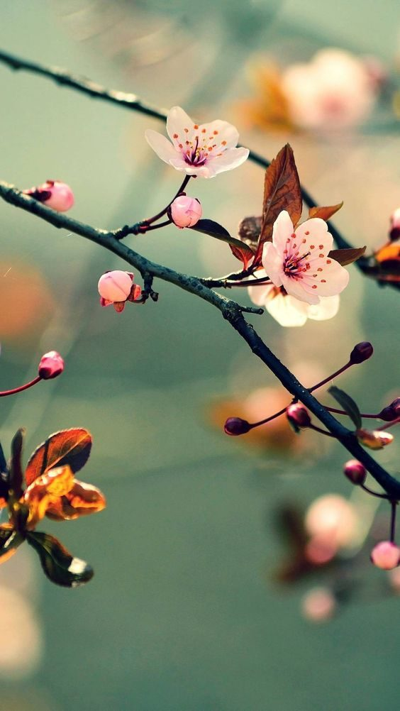 عکس شکوفه بهاری برای پروفایل