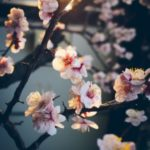عکس پروفایل شکوفه درخت واسه پروفایل