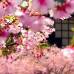 عکس زیباترین شکوفه های بهاری برای تصویر پروفایل