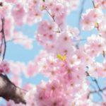 عکس شکوفه بهاری صورتی برای پروفایل