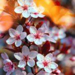 عکس از شکوفه درخت برای پروفایل