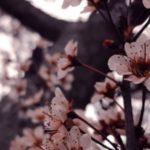 عکس پروفایل از شکوفه های بهاری