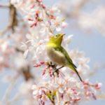 عکس شکوفه بهاری سفید برای پروفایل