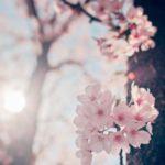 عکسهای شکوفه زیبای درختان برای پروفایل