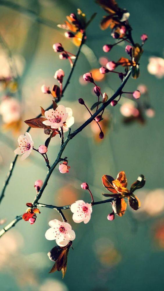 عکس زیبا از شکوفه بهاری صورتی کمرنگ