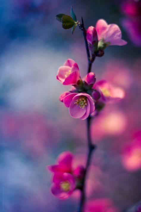 عکس پروفایل شکوفه های بهاری