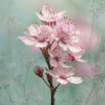 عکس پروفایل شکوفه بهاری