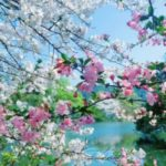 عکس شکوفه بهاری زیبا برای پروفایل