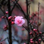 عکس شکوفه بهاری درختان برای پروفایل