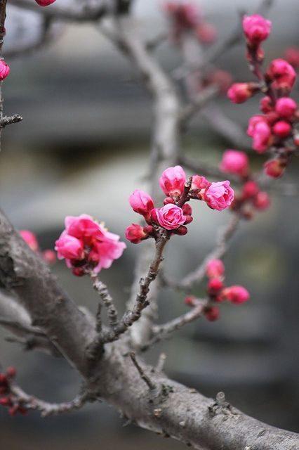 عکس شکوفه بهاری با کیفیت بالا