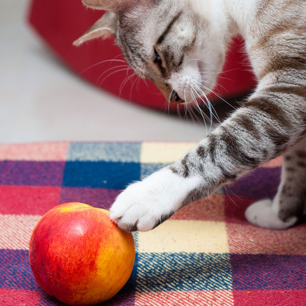 گربه چه میوه ای می خورد
