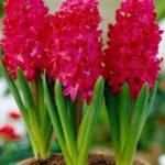 گل سنبل سرخابی خوشرنگ