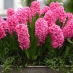 عکس گل سنبل زیبا برای پروفایل