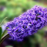 عکس گل سنبل ارغوانی برای پروفایل