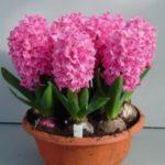 عکس گل سنبل طبیعی در گلدان