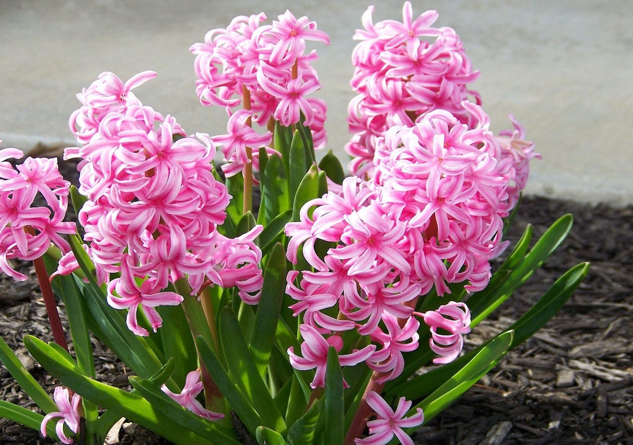 عکس گل سنبل طبیعی برای پروفایل